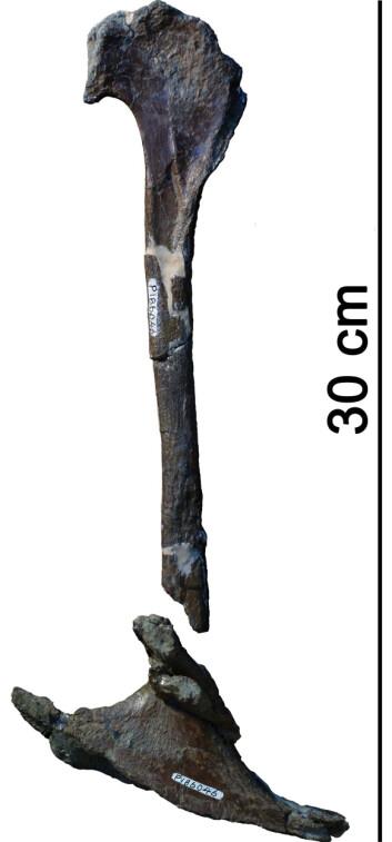 Her ser du deler av hofta til T. rex-slektningen. Foto: © Dr. Roger Benson, Cambridge)