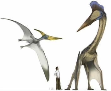 Sånn kunne det sett ut for 65 millioner år siden, i møte med pterosaurer. Her ses den tannløse, men flygedyktige pteranodon (t.v) med et vingespenn på rundt 9 meter, mens Hatzegopteryx sitt vingespenn var over 12 meter. (Illustrasjon: Mark Witton)