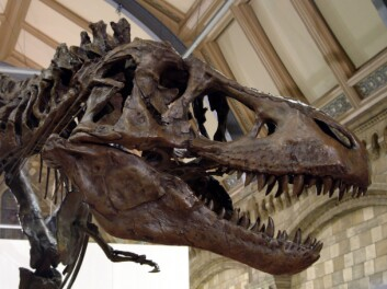 Skalle til Tyrannosaurus rex. (Foto: © Natural History Museum London)