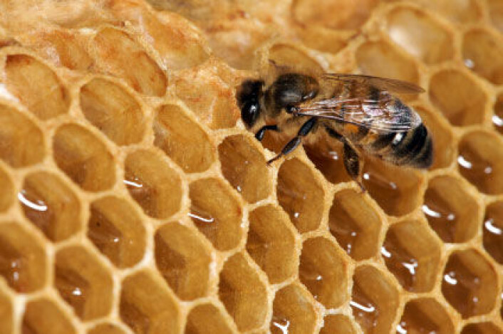 Bier har vært fulgt mennesket lenge. De eldste sporene av birøkting er funnet i Israel, og en analyse viser at biene som ble brukt kan ha vært skaffet langveisfra. (Illustrasjonsfoto: iStockphoto)