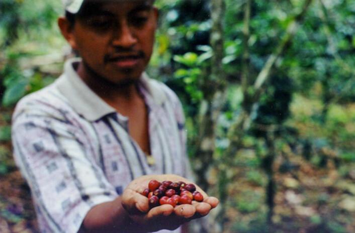 """""""En ny doktorgrad, basert på forskning i delstaten Chiapas i Mexico, tar for seg effekten av Fairtrade-kaffe for lokale kaffeprodusenter. (Foto: Anna B. Milford)"""""""