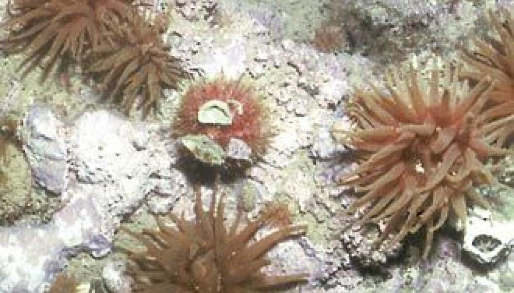 """""""Kråkebollen Strongylocentrotus droebachiensis og sjøanemoner som Urticina eques og Hormathia nodosa er viktige arter på bunnen av Kongsfjorden på Svalbard. (Foto: Bjørn Gulliksen)"""""""