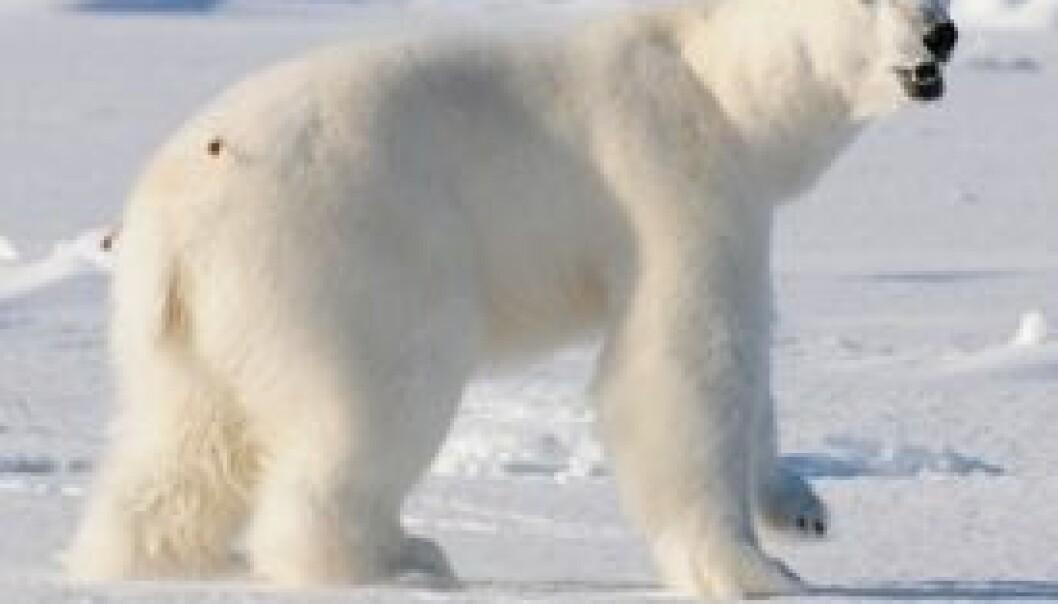 Isbjørnene er vanskelige å finne. Det fins bare én isbjørn per hundre kvadratkilometer. (Foto: Øystein Wiig)