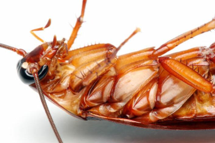 """""""Dette er en moderne kakerlakk, men forskerne mener den ligner ganske mye på sin 300 millioner år gamle forfar. (Illustrasjonsfoto: iStockphoto)"""""""