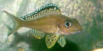 Cikliden Xenotilapia papilio (Foto: Wikimedia Creative Commons)