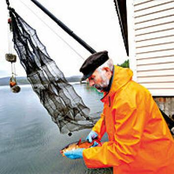 Forsker leter etter merket torsk.