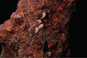 De nyoppdagede tangloppene holder til på skorsteinene som dannes av de vulkanske kildene nord på den midtatlanterske rygg. (Foto: Senter for geobiologi/UiB)
