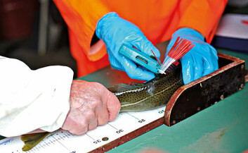 Måling og veiing av fanget torsk.
