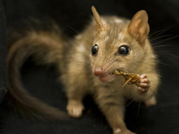 D. hallucatus er en pungmår på størrelse med en katt. Den lever i nordlige deler av Australia, men bestanden er flere steder truet. (Foto: Jonathan Webb)