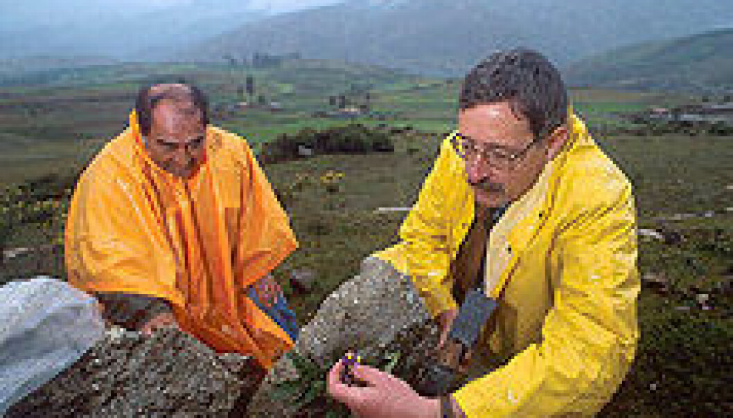 """Potetforskarar samlar inn ville poteter i Peru: Botanikaren Daivid Spooner (t.h.) saman med Alberto Salas, spesialist på plantegenetiske ressursar ved Det internasjonale potetsenteret i Peru."""