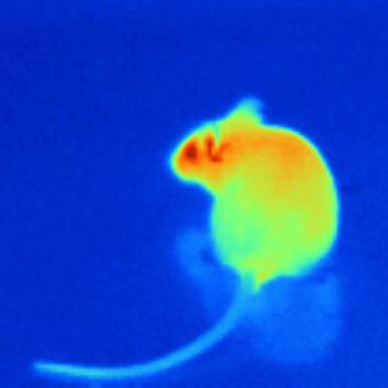 Kanskje ser små mus omtrent slik ut, med de infrarøde sensorene til huggormer, boaer og pytonslanger. (Foto: Julius Lab at UCSF)