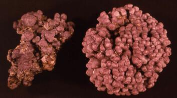 Kalkalger er som oftest rosa i levende tilstand. (Foto: Bill Woelkerling)