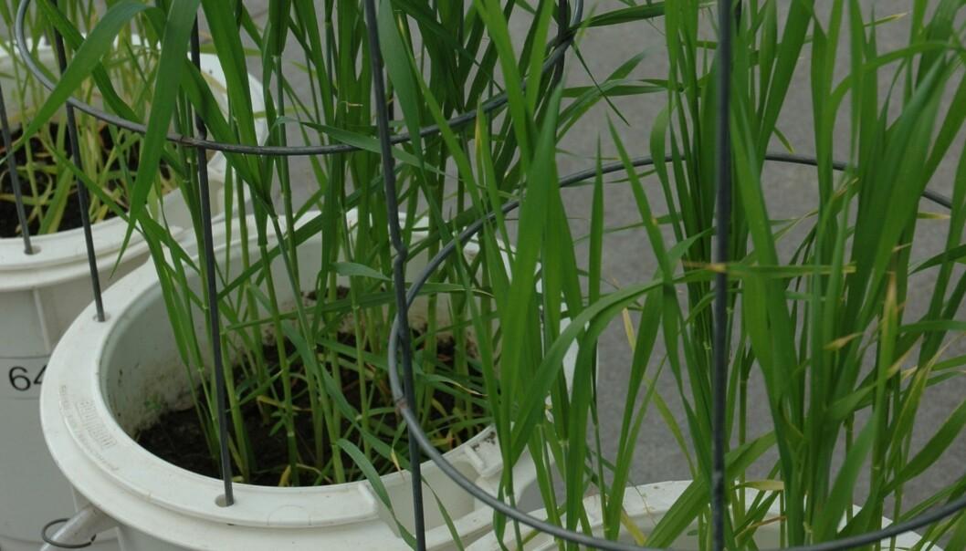 – I to mastergradsoppgaver som er gjennomført ved UMB, ble det funnet klart mindre utvasking av nitrogen ved bruk av organiske gjødseltyper enn med Fullgjødsel, sier seniorforsker Trond Knapp Haraldsen ved Bioforsk Jord og miljø på Ås. (Foto: Elin Judit Straumsvåg)