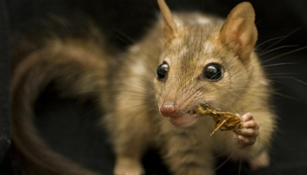 D. hallucatus er en pungmår på størrelse med en katt. Den lever i det nordlige Australia, og er flere steder truet av utryddelse. (Foto: Jonathan Webb)