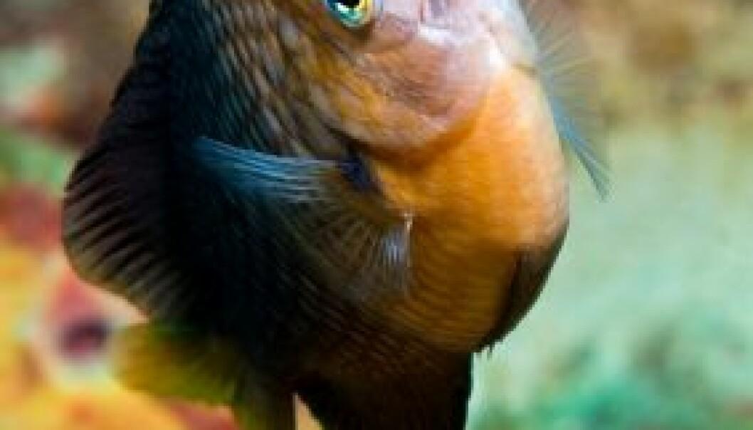 Dusky Damselfish (Stegastes adustus) (Foto: iStockphoto)