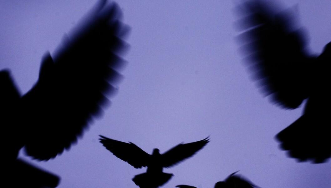 Hvordan unngår fugler å kollidere?