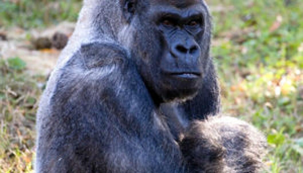 Gorillaen Ozzie. (Foto: Zoo Atlanta)