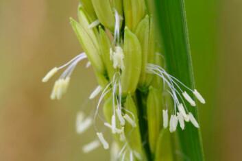 Risblomst. Risplanten har i motsetning til kornslag som hvete og bygg mange småaks. (Foto: iStockphoto)