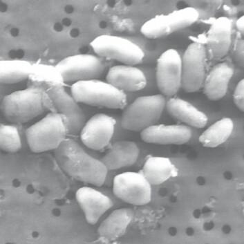 """Arsen-bakterien"" GFAJ-1 fra Mono Lake i California (Foto: © 2009 Henry Bortman)"