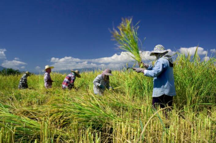 Tradisjonell innhøsting av ris i Thailand. Ris er verdens nest viktigste kornsort etter hvete. (Foto: iStockphoto)