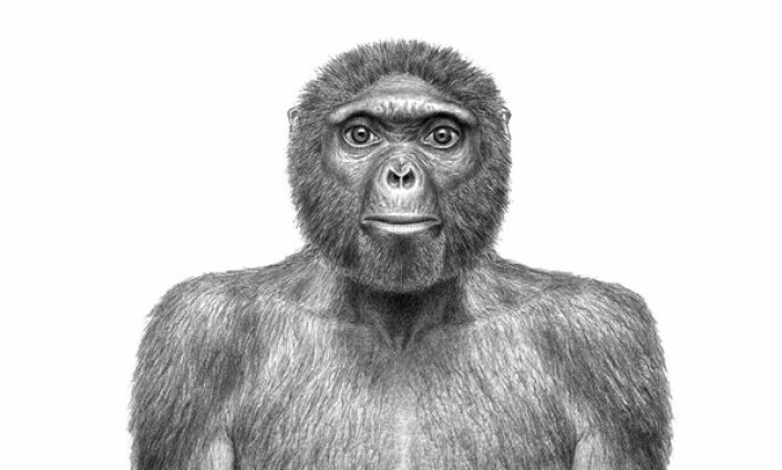 Vår nye, felles stammor Ardi er en gjenganger i omtalene av årets viktigste internasjonale forskningsnyhet i 2009. Illustrasjonen viser en kunstners forestilling av hvordan hun kan ha sett ut. (Illustrasjon: J. H. Matternes/Science)