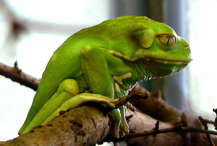 I huda til denne trefrosken har forskarar funne eit stoff som kan ta knekken på kreftsvulstar. (Foto: Frank C. Müller)