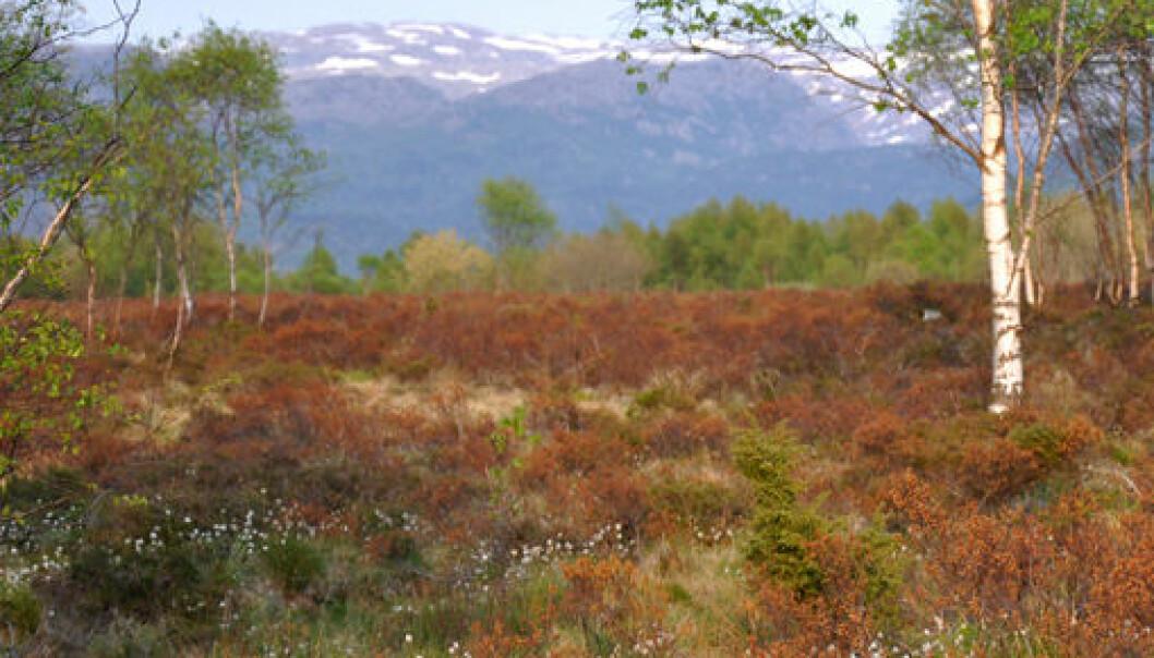 Myr dekket av rustbrune porsplanter. (Foto: Eli-Christine Soltvedt)