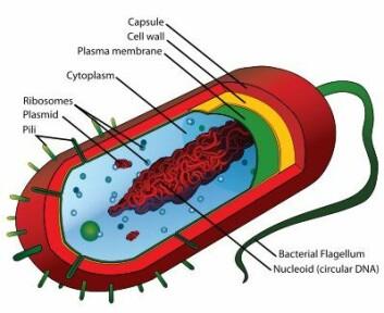 Diagram over en prokaryot celle. Prokaryoter er encellede eller kolonidannende organismer som mangler cellekjerne (gresk [pro-] = «før», [karyon] = «nøttekjerne»). Bakterier er prokaryoter, og selv om de er enklere enn mange andre celler, er de uhyre sammensatte organismer. (Illustrasjon: Wikimedia Commons)