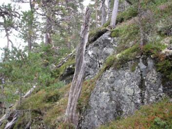Den ytterste gjenværende årringen i dette treet er fra 1332. (Foto: Terje Thun, NTNU Vitenskapsmuseet)