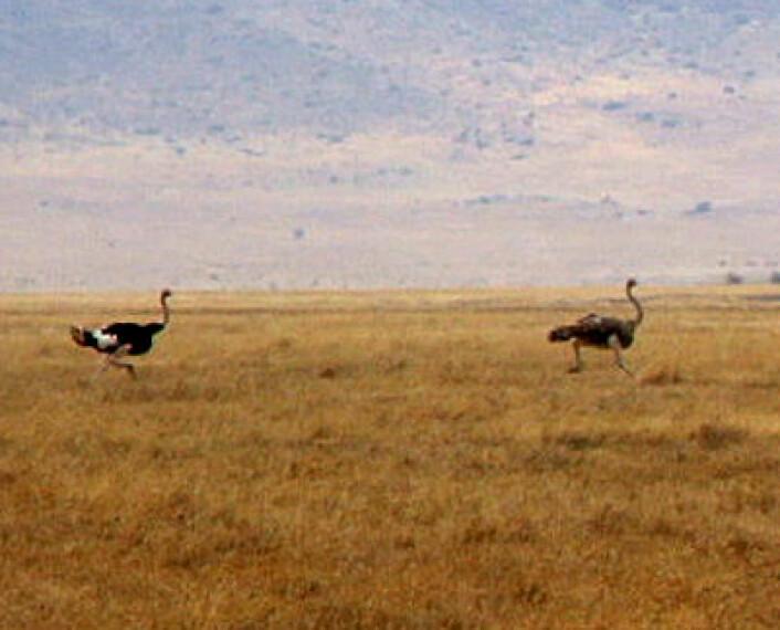 Struts løper over velden i Sør-Afrika. (fra video) Foto: Nicor, Wikimedia Commons, se lisens)