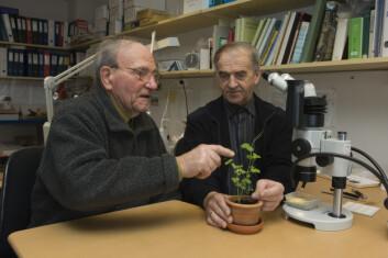 Sverre Bakkevig og Einar K. Time studerer jærertplanten. (Foto: Terje Tveit)