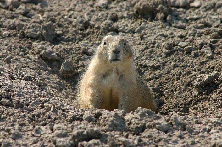 """""""Liten præriehund på alerten. (Foto: Wing-Chi Poon/ Wikimedia Commons. Se lisens.)"""""""