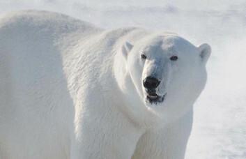 Isbjørn. (Foto: Øystein Wiig, NHM/UiO)
