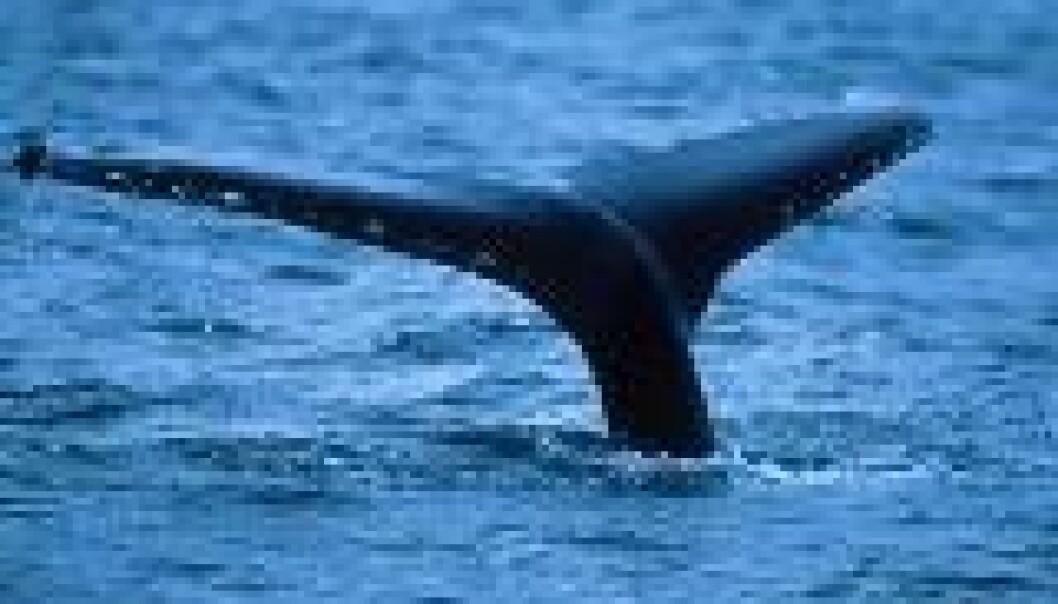 Hvalen før hvalfangsten
