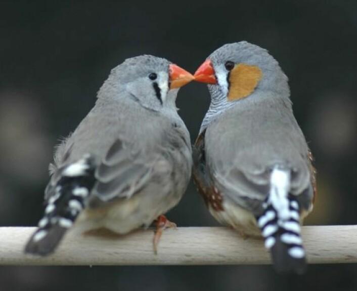 Sebrafinker kan snylte på artsfrender ved å legge egg i naboens reir. Bildet viser hunn og hann av sebrafink. (Foto: Wolfgang Forstmeier)