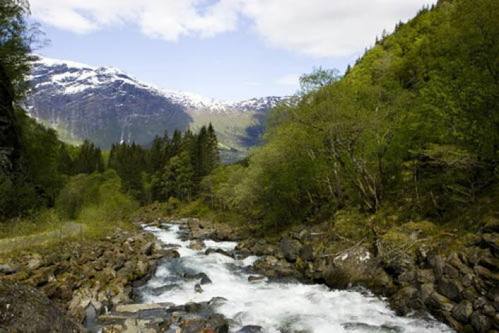 Myndighetene skal sette inn tiltak for å avhjelpe situasjonen for ville bestander av laks og sjøørett i vassdragene som renner ut i Hardangerfjorden. Et pilotprosjekt skal gi erfaringer som også kan brukes i andre deler av landet. (Foto: Colourbox.no)