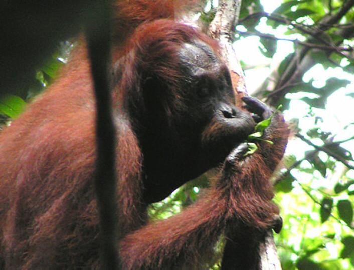 Orangutang som bruker blader som redskap for å modifisere egne varselrop. (Foto: Madeleine Hardus, University of Utrecht)