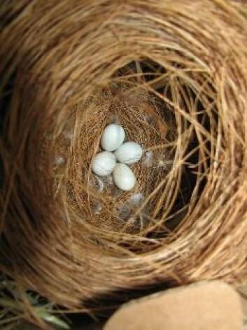 Tyske forskere fant at fem prosent av sebrafink-eggene i en studie var resultat av reir-snylting. (Foto: Elisabeth Bolund)