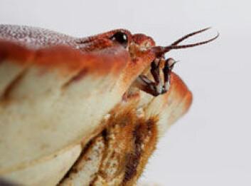 """Taskekrabben har ett par rette, følsomme antenner pluss """"nese"""": ett par toleddete lukteantenner. Antennene er nesten konstant i bevegelse. (Foto: Astrid K. Woll)"""