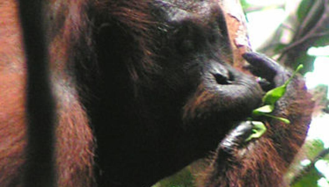 Orangutang bruker blader som redskap. (Foto: Madeleine Hardus, University of Utrecht)