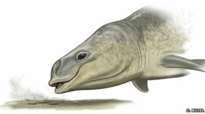 """""""Den forhistoriske Mammalodon colliveri slurpet godbiter og gjørme fra havbunnen, tror australske forskere. (Illustrasjon: Carl Buell)"""""""