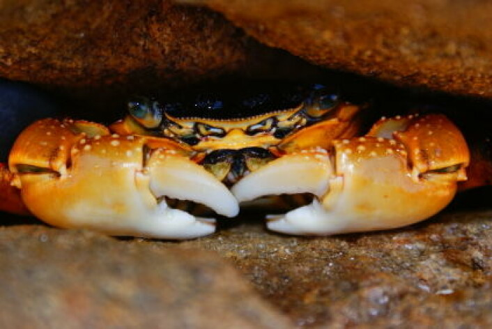 En krabbe gjemmer seg mellom steinene. (Illustrasjonsfoto: iStockphoto)