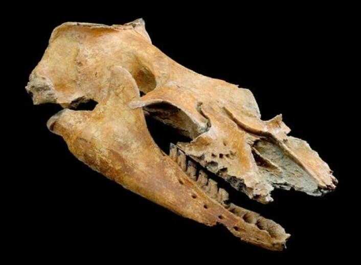 """Forsteinet smil? Hodeskallen til Mammalodon colliveri. (Foto: Rodney Start/ Museum Victoria)"""