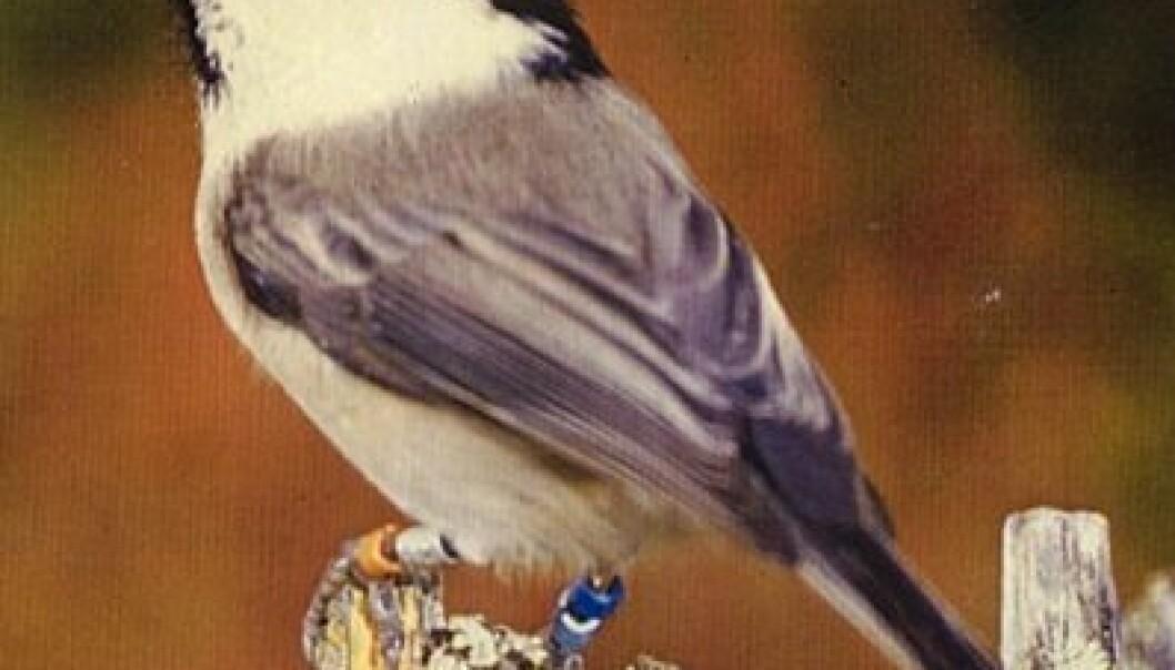 Denne fargeringmerkete granmeisen var en ung hunn plassert lavest på den sosiale rangstigen og dominert av de øvrige flokkmedlemmene. (Foto: Per H. Olsen/ NTNU-Vitenskapsmuseet)