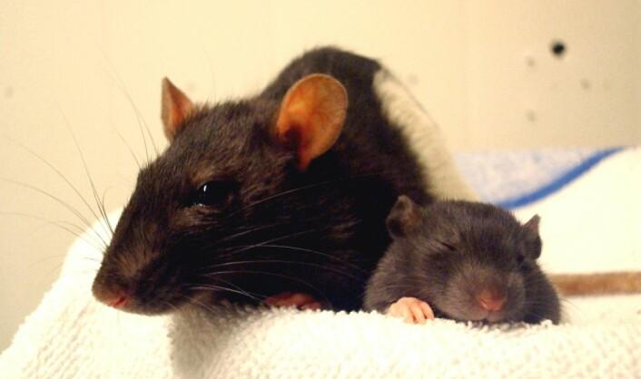 En rottebaby og dens mor. (Foto: Kavliinstituttet/NTNU)