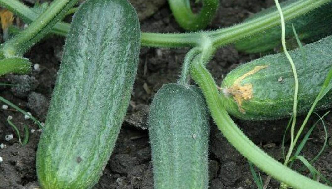 Godt agurknytt fra Rygge