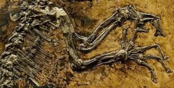 """""""Ida"""" ble funnet i Messel Grube i Tyskland, i skifer dannet av det som har vært bunnen av innsjøer. (Foto: Jørn Hurum, UiO)"""