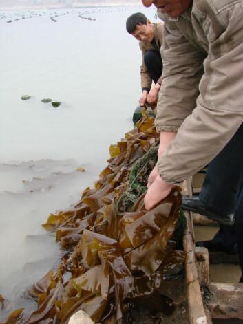 Asia er i dag verdensledende på algedyrking. (Foto: Celine Rebours)