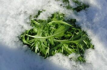 Mizuna og flere andre av de asiatiske grønnsakene tåler snø og litt kulde. (Foto: Arnulf Rein)