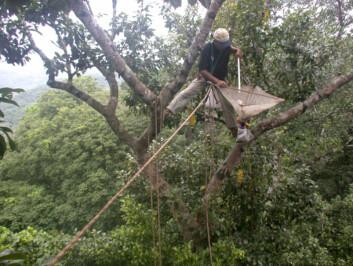 """""""Her pågår manuell innsamling av insekter med bankeskjerm fra trekronene i tropisk skog i Panama. (Foto: Roger Le Guen)"""""""